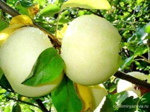 яблоня белый налив, раннелетний, карликовый