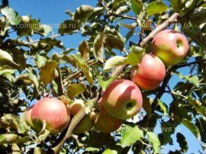 яблоня джонаголд, зимний