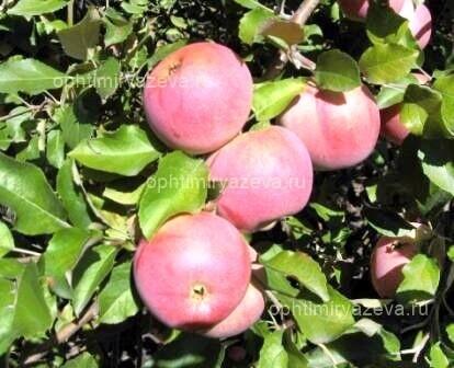 яблоня флорина, зимний, карликовый