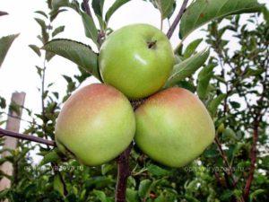 яблоня корей, позднезимний, карликовый