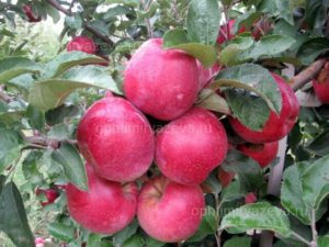 яблоня кубанское багряное, зимний, карликовый