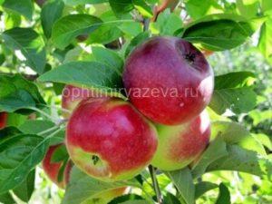 яблоня лето красное, позднелетний, карликовый