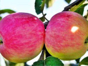 яблоня мелба, летний, очень слаборослый