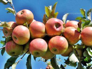 яблоня орион, раннезимний