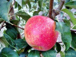 яблоня престиж, раннезимний