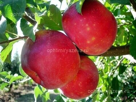 яблоня прима, позднелетний