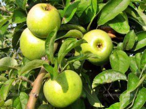яблоня ренет симиренко, позднезимний, полукарликовый, карликовый