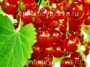 Смородина красная